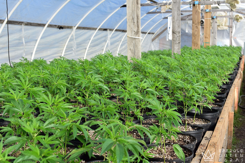 Emerald Queen Farms Cannabis - Humboldt County, CA
